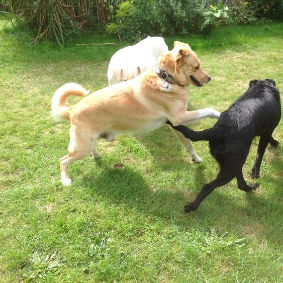 Unsere Hunde Monty und Vince mit Gasthündin