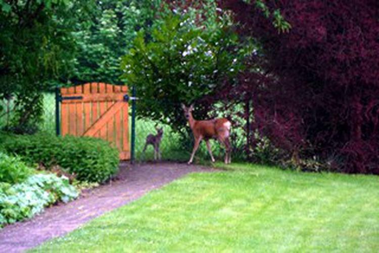 Rehe zu Besuch in unserem Garten