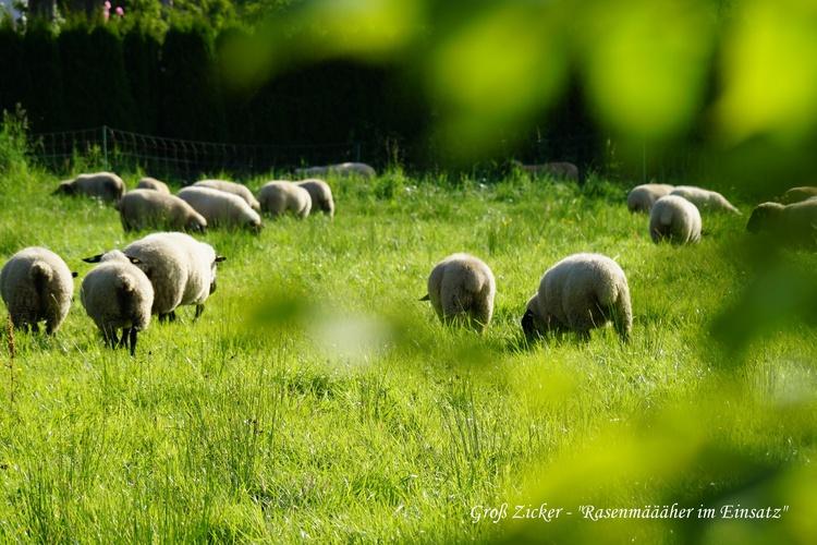 Schafe in Groß Zicker
