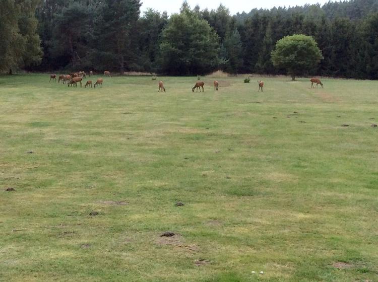 Hirsche auf der großen Wiese